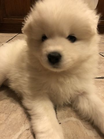 Samoyed puppy for sale in KEARNEY, MO. ADN-62948 on ...