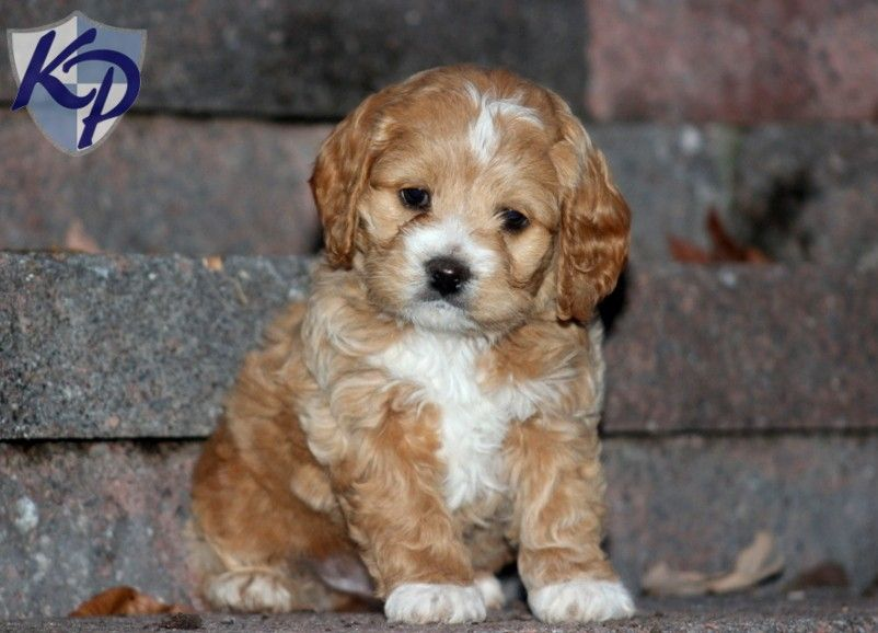 Puppy Finder Find Buy A Dog Today By Using Our Petfinder Cockapoo Puppies Puppies Cockapoo Puppies For Sale