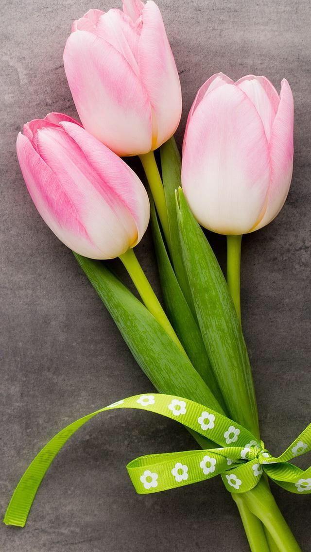 Oboi Iphone Wallpaper Tulips Tyulpany Cvetochnye Fony Krasochnye