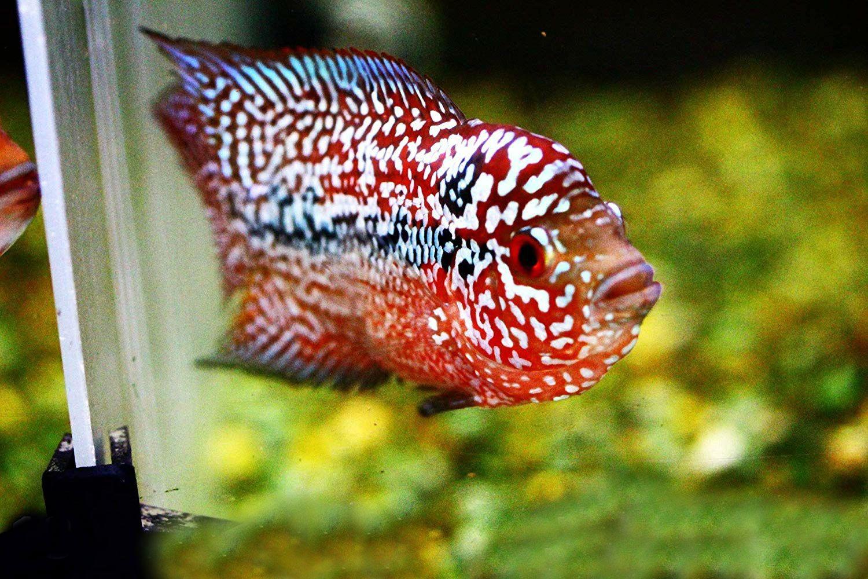 Live Flowerhorn Fish Sale (Cichlid, Louhan, La Hán) 花罗汉