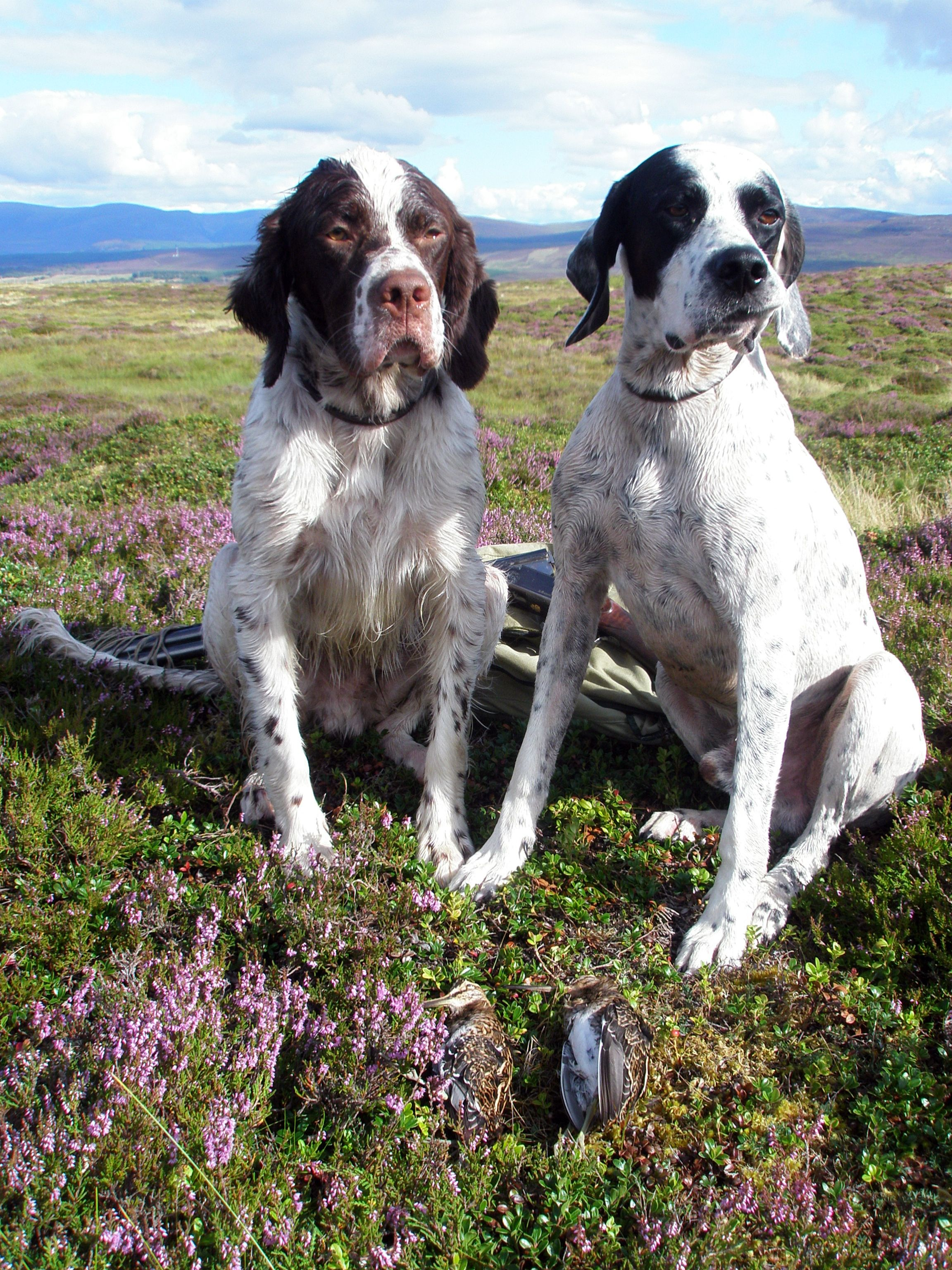 dog pointer, setter & snipe AZ Dogs, Pets, Animals