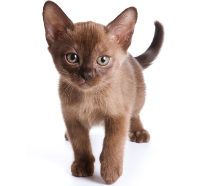 Browse Burmese Cats Kittens For Adoption Chicago Illinois