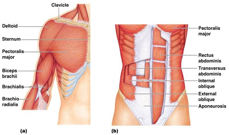 labeled muscles posterior and anterior upper body - google search, Muscles