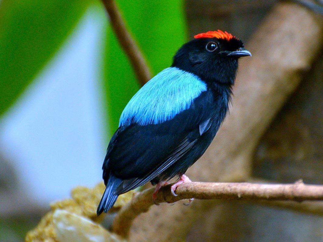 это красочное длиннохвостый красноногий манакин фото птицы нудистки