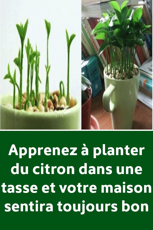 Apprenez à planter du citron dans une tasse et votre