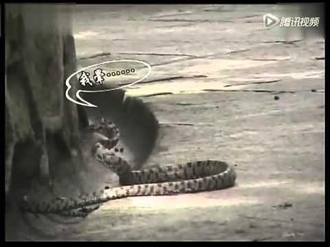母愛的勇氣一條一米四十的毒蛇,吃了山雀的孩子,母烏为了報仇,在衆多群衆圍觀中與大蛇戰,最终殺死了毒蛇 2