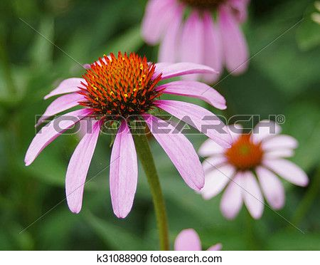 Purple Coneflower Echinacea Purpea Stock Photo K31088909 Photo Clipart Stock Photograph Echinacea