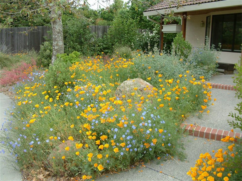 California Poppies and Baby Blue Eyes mingle in this happy garden ...