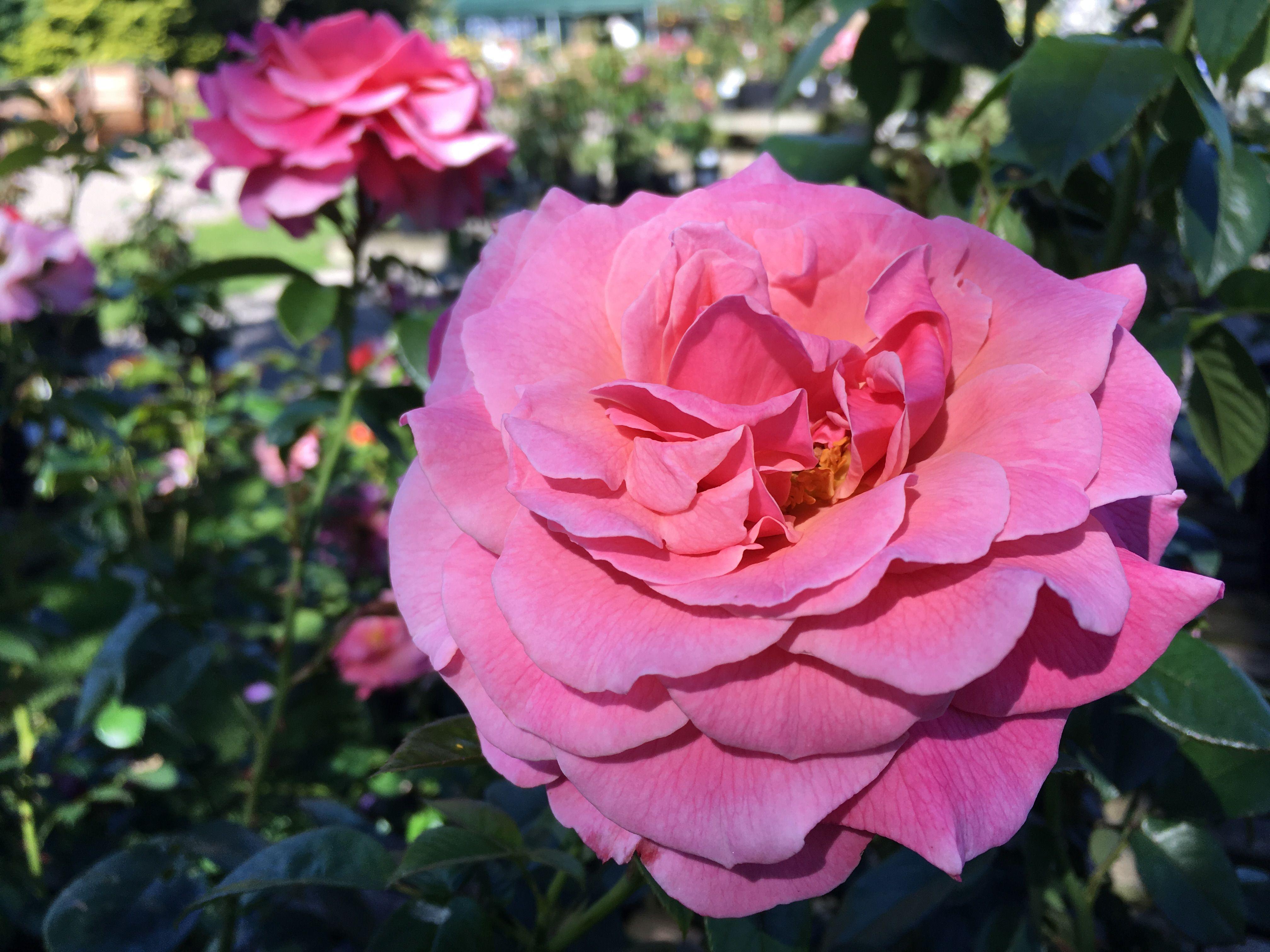 Tickled Pink A Floribunda Rose Growing 2 3 Ft Gold Standard Award Winner 2007 Rose Pink Roses Growing Roses