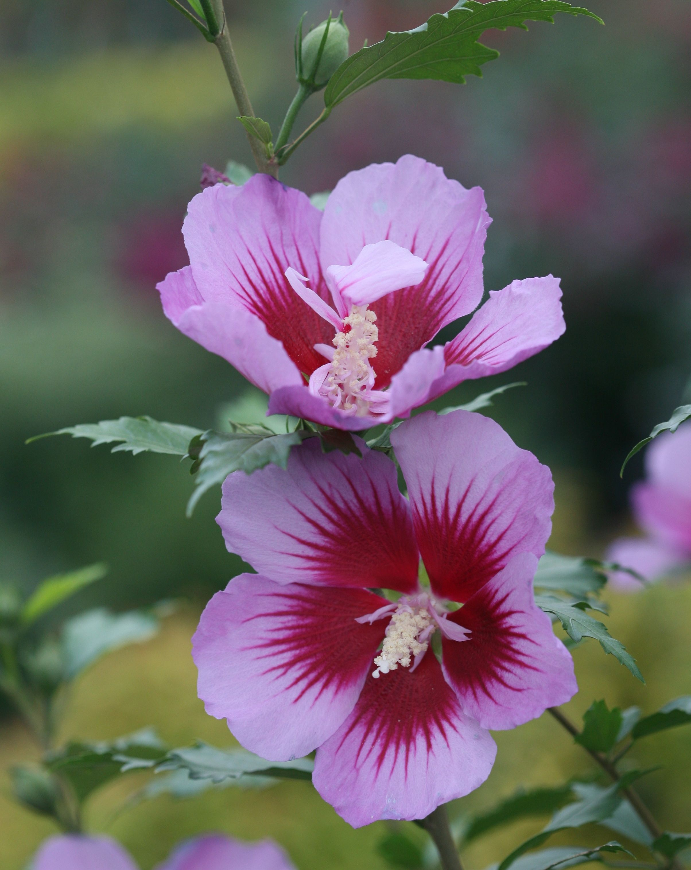 Orchid Satin Rose Of Sharon Hibiscus Syriacus Rose Of Sharon Hibiscus Orchids