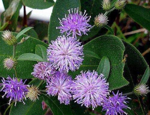Flor Do Cerrado Brazilian Cerrado Flower Com Imagens Flores Do