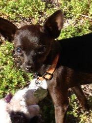Adopt Betsy On Cute Chihuahua Chihuahua Dogs Chihuahua Love
