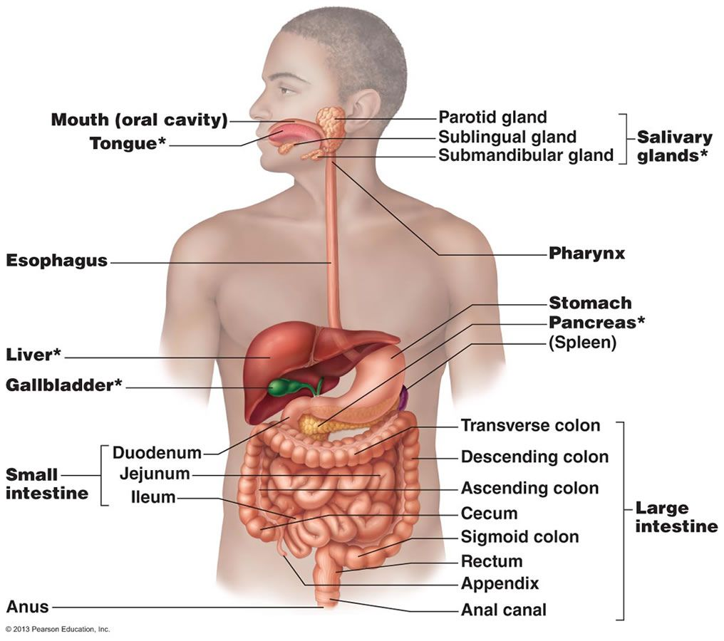 The Digestive System Great Outline Anatomy Physiology