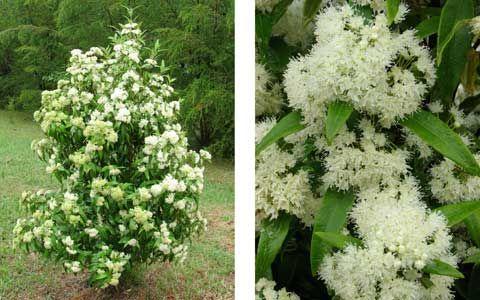 Fragrant Flowering Shrubs and Trees