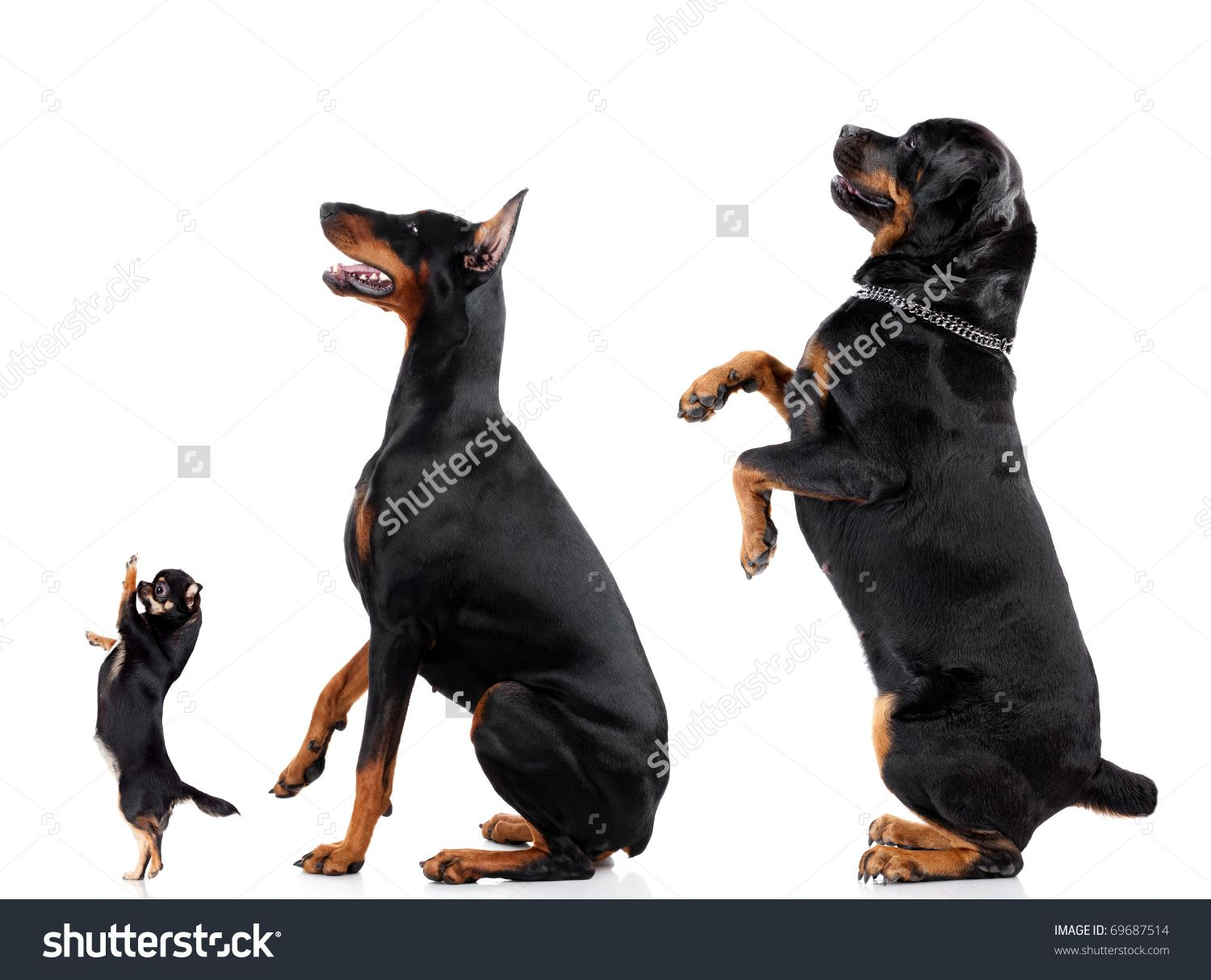 Stock Photo Group Of Dogs Chihuahua Doberman Rottweiler Isolated