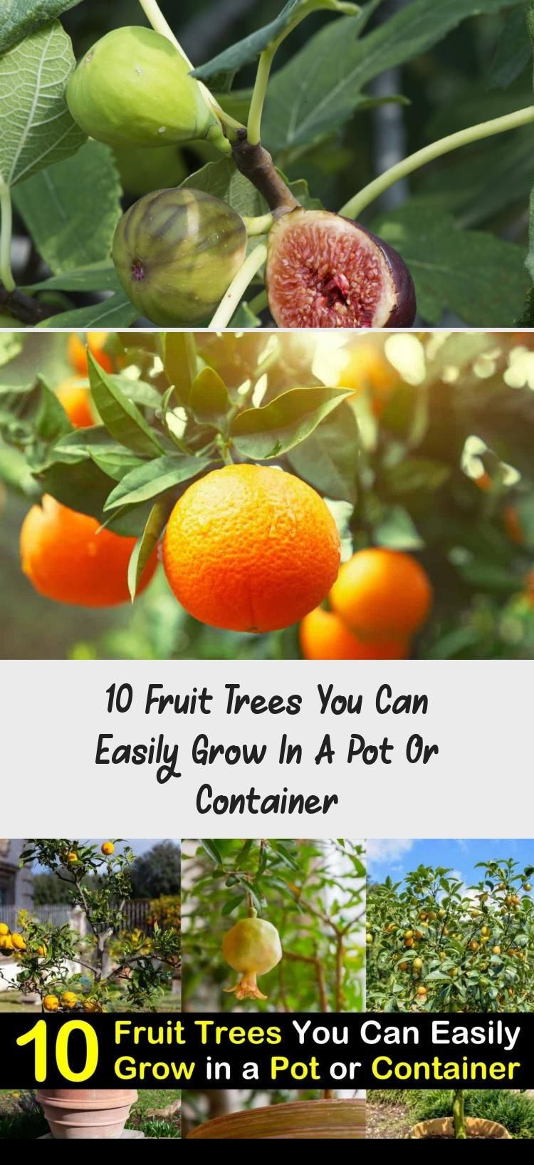 10 Fruit Trees You Can Easily Grow In A Pot Or Container Containergardeningcourtyard Containe Fruit Trees Container Gardening Shade Fruit Trees In Containers