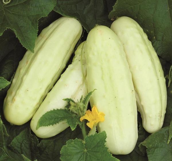 Holland White Cucumber Seeds | Cucumber seeds, White cucumber ...
