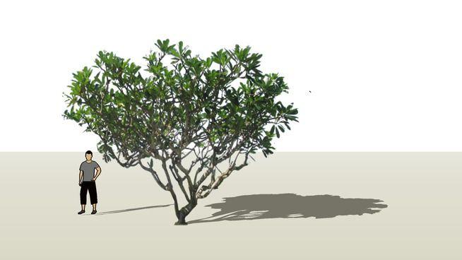 plumeria - 3D Warehouse | Sketchup model, Model, Warehouse