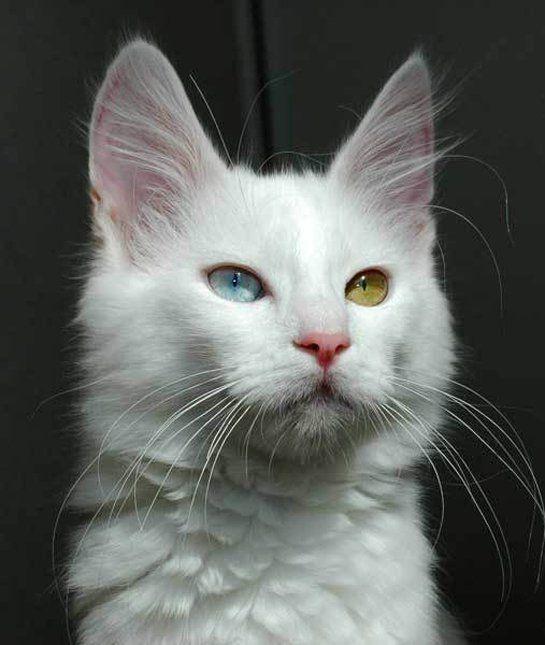 28ed45659d3fc6 10 Turkish Angora Cat Facts