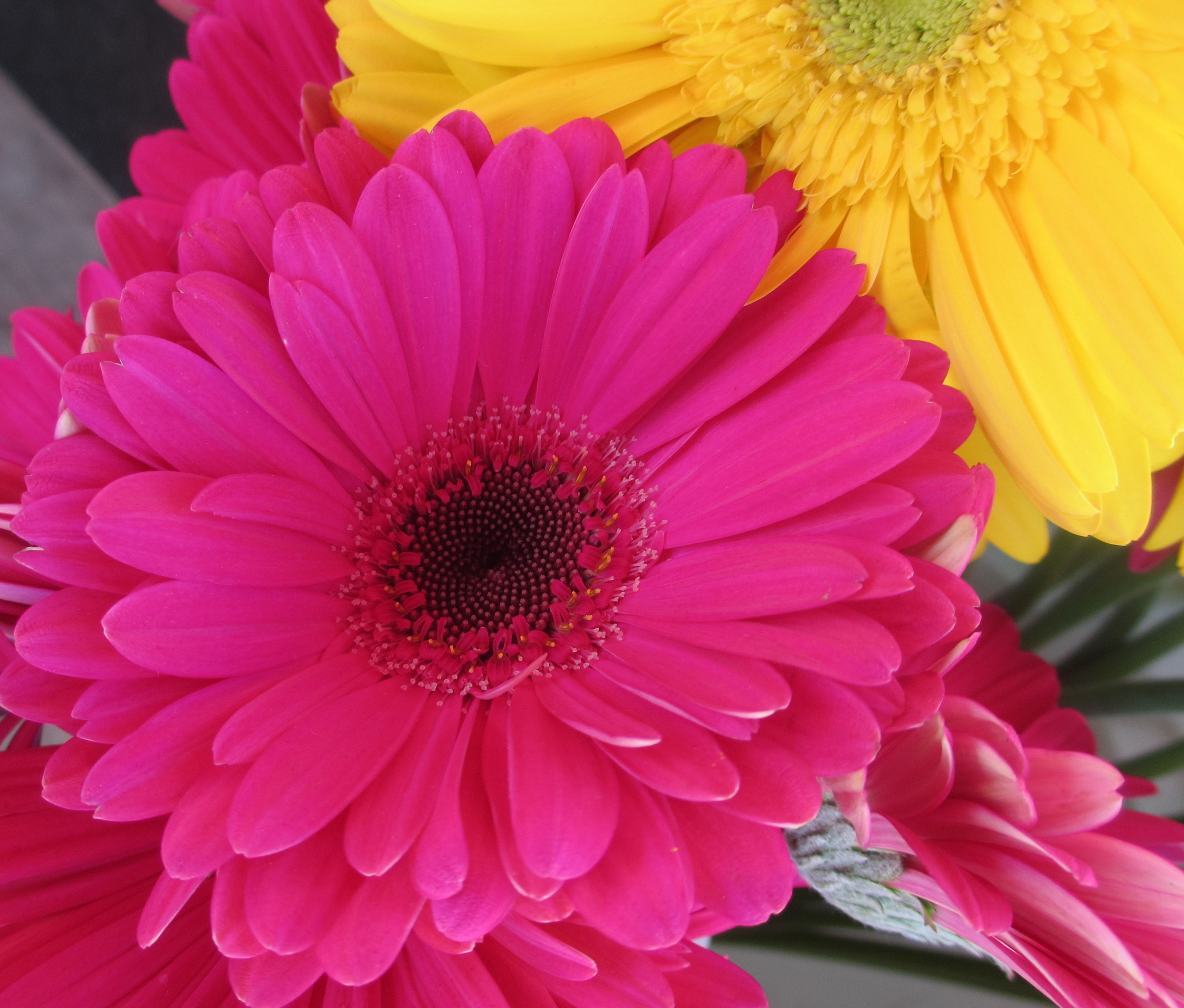 Gerber Daisy Becoming One Of My Favorite Flowers Gerber Daisies Daisy Love Gerbera Daisy