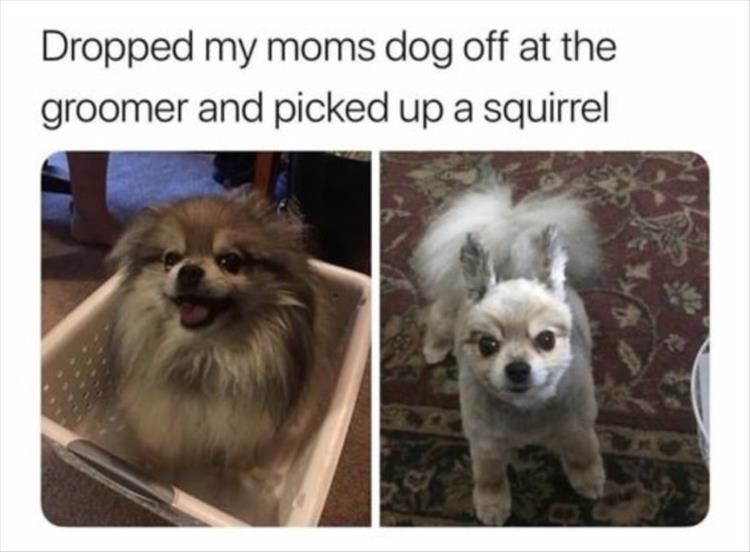 Before And After Pics Of A Dog Who Got A Squirrel Haircut Funnyanimalsmemes Funny Animal Memes Cute Funny Animals Funny Animals