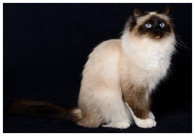 気になるもの おしゃれまとめの人気アイデア Pinterest Erikomo 猫 図鑑 猫 バーマン