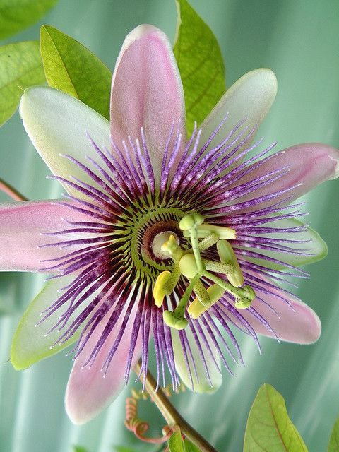 Passion Flower - these have to be the coolest flowers ever! ❤️