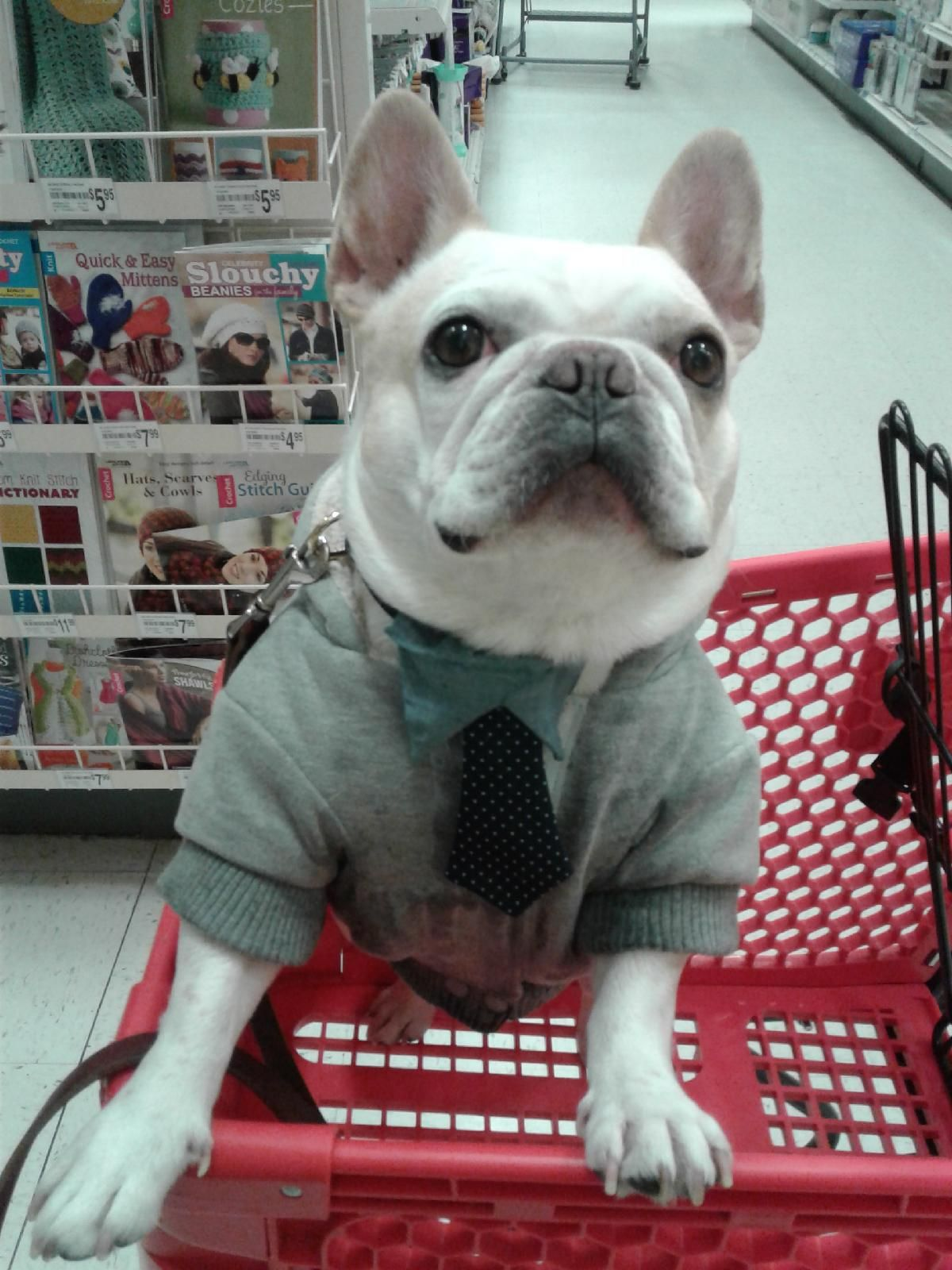 Teddy The French Bulldog Out Shopping With Mom French Bulldog