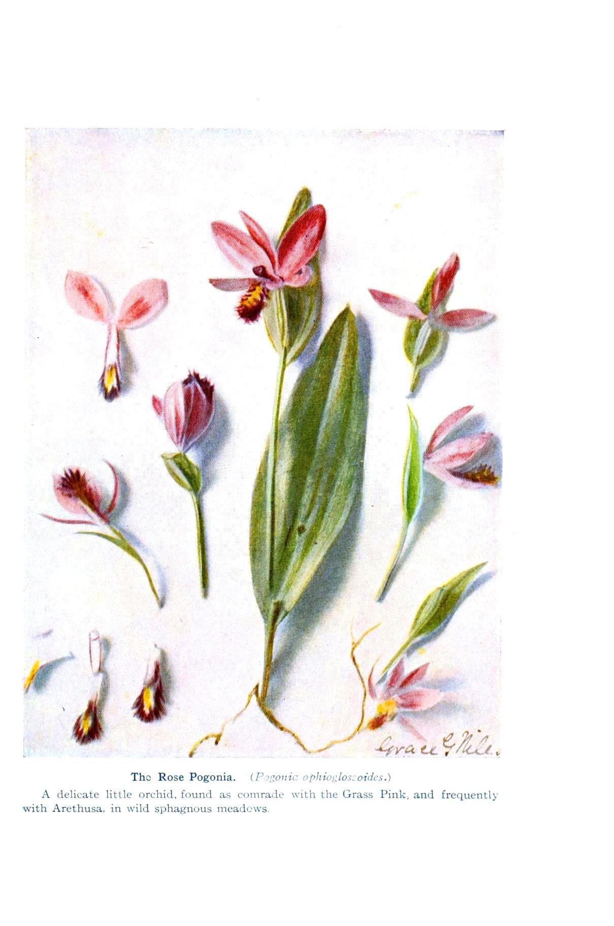 Botanical - Flower - Orchid - Anatomy 3 | floral - lustration ...