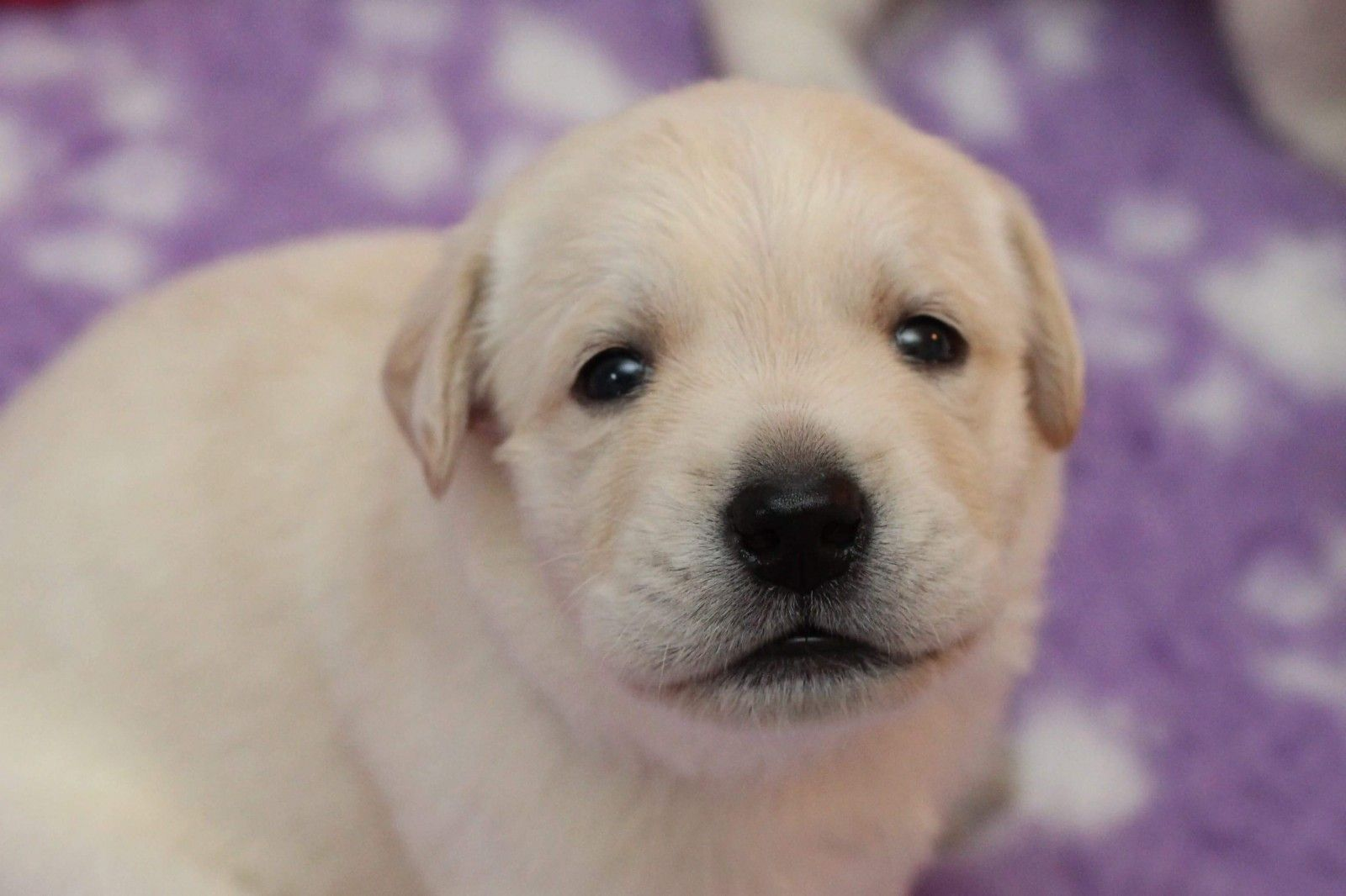 Labrador Retriever Puppies For Sale Bay Shore Ny