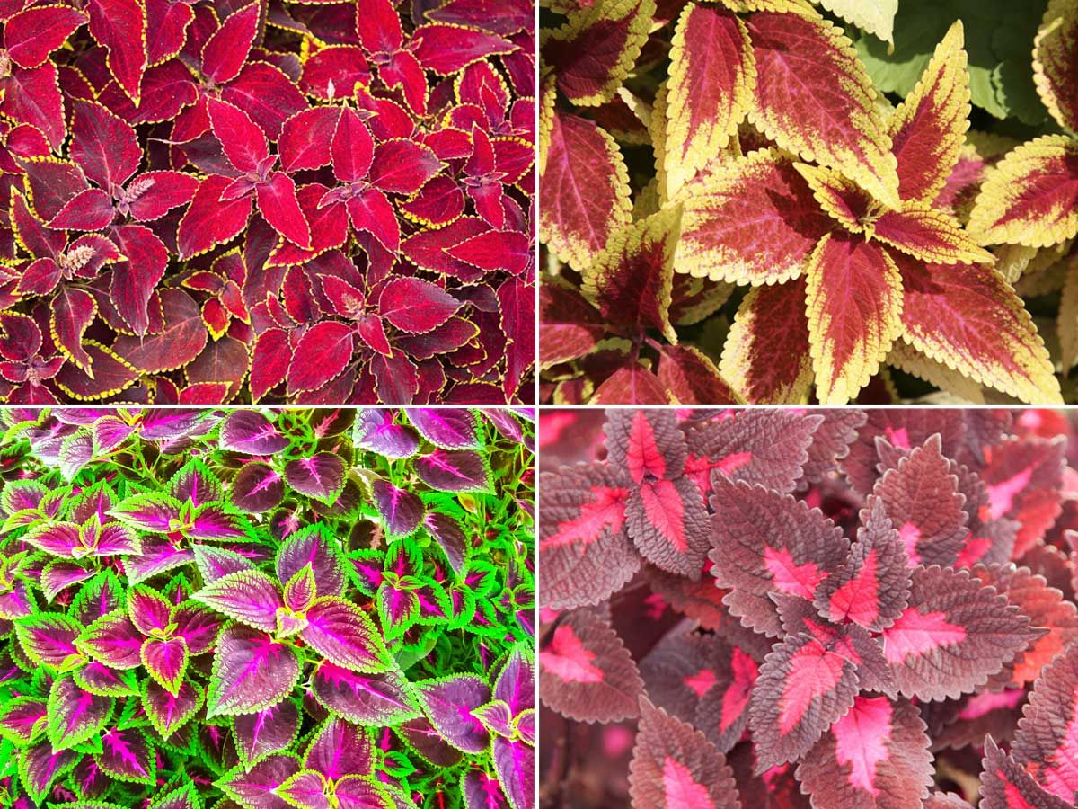 Coleus Plants How To Grow Care For And Use Colorful