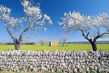 Mandelblüte auf Mallorca erleben