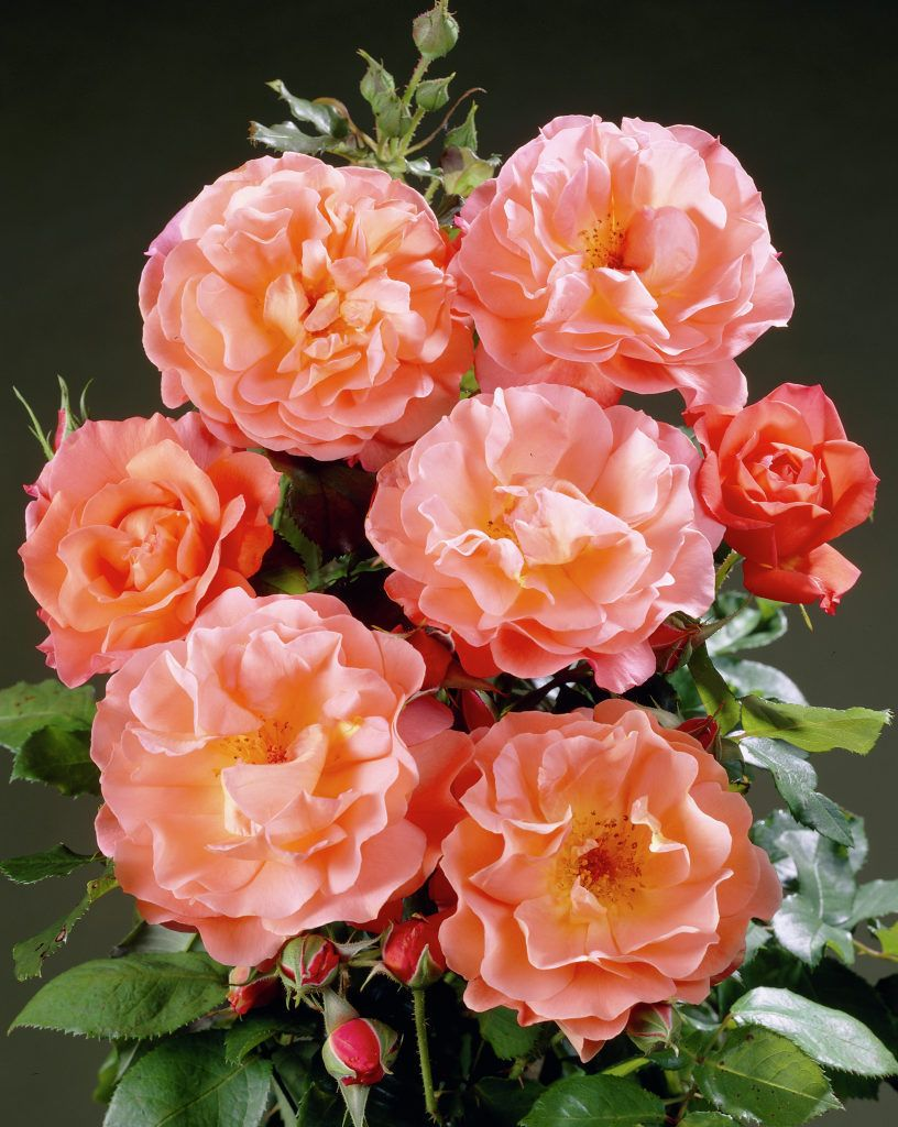 Rose Westerland Flowers Climbing Roses Planting Flowers
