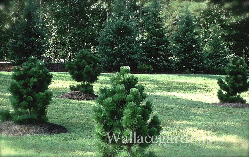 Thunderhead pines