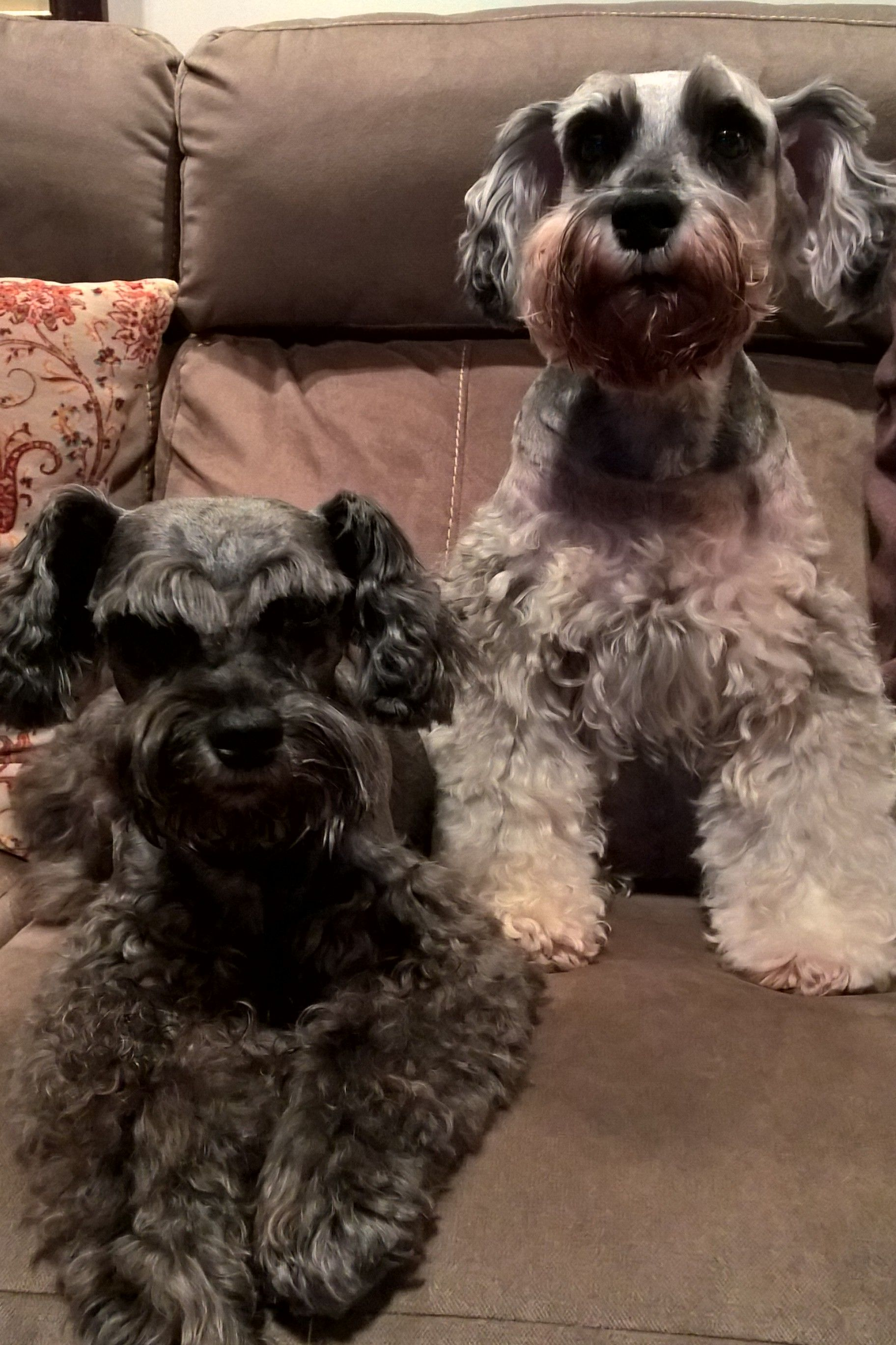 Dogs, schnauzer Emotional support animal
