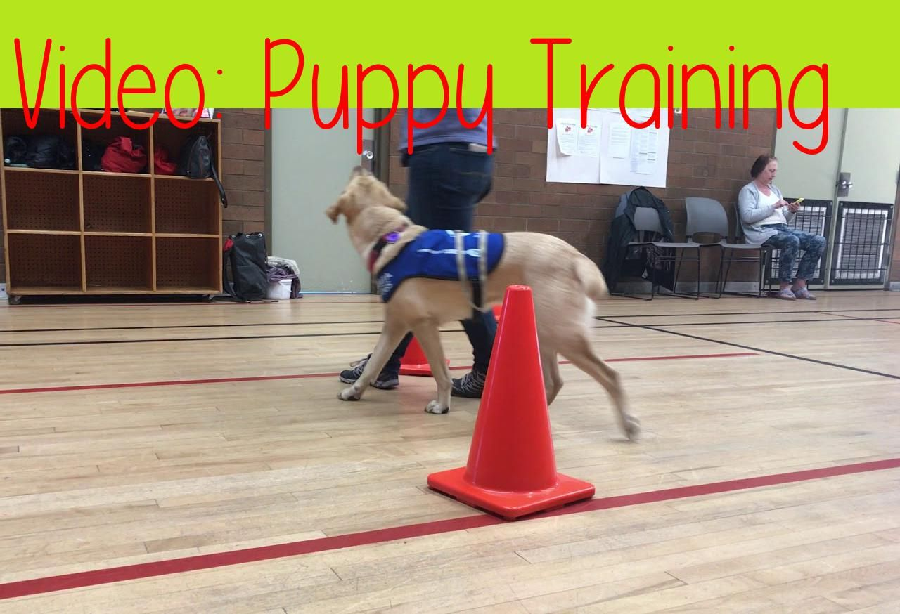 Puppy Trainingpuppy Training With Bc Amp Alberta Guide Dogs