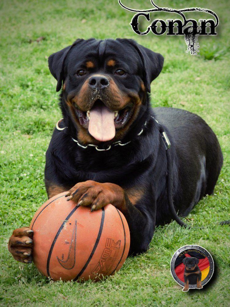 Dkv Rottweilers Conan Von Der Korperkraft X Sila Winner Civi