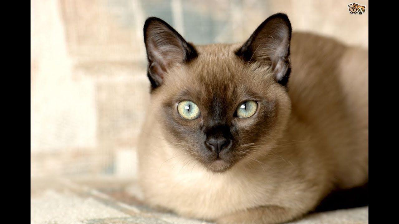Burmese Cat Tonkinese Cat Burmese Cat Fluffy Cat Breeds