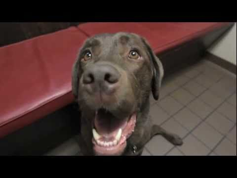 Video I Don T Want To Get Another Shot Paws For Peeps Dogs Labrador Dog Dog Gifs