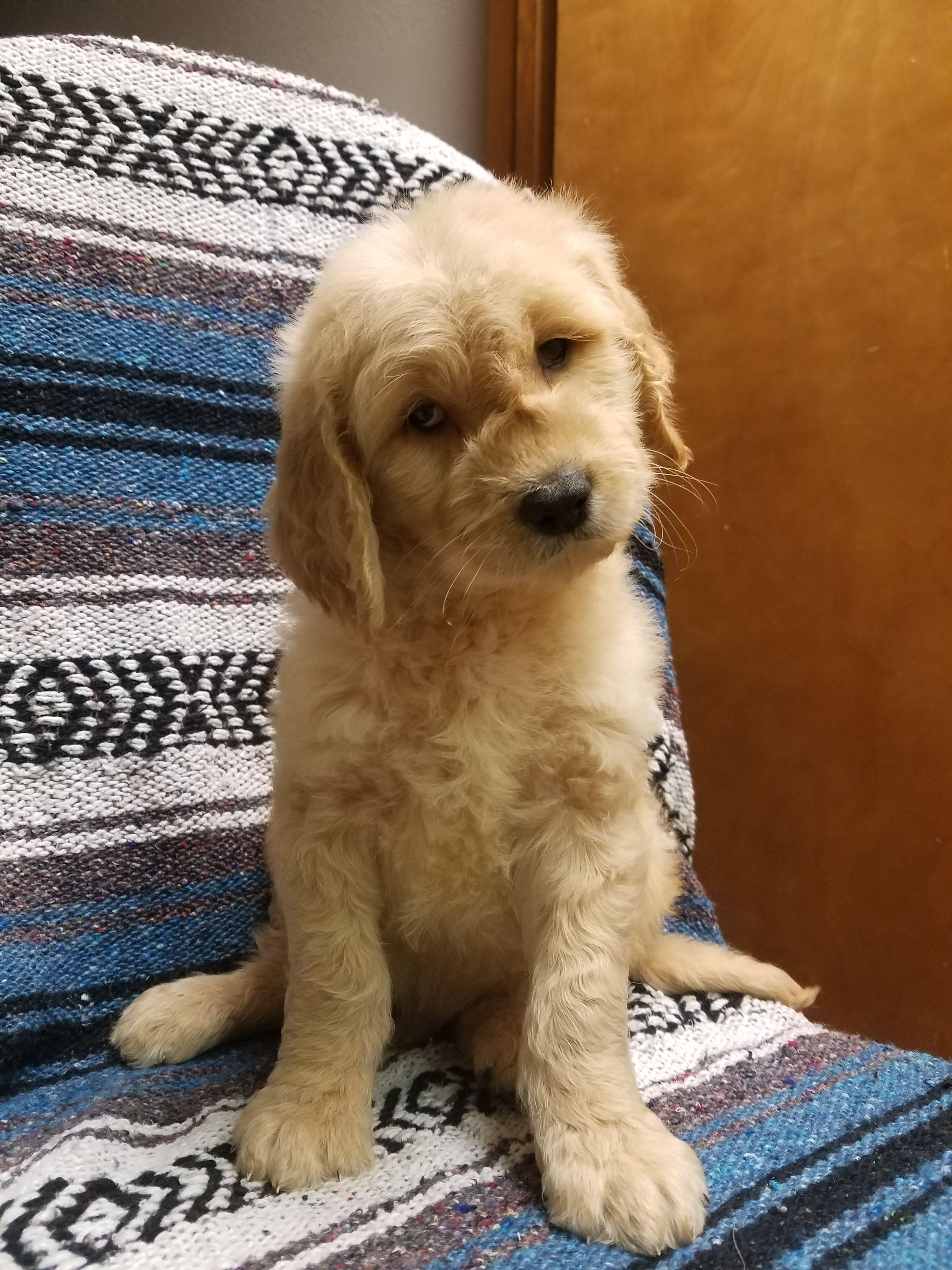 F1 Goldendoodle Puppies Goldendoodle puppy, Goldendoodle