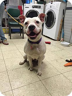 Pin By Jackie Judson On Pittie Love Pitbull Terrier Pets Bull
