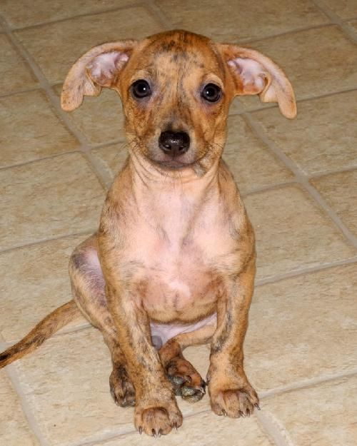 Frodo Dachshund Whippet Mixed Male Current Age 2 Months 4