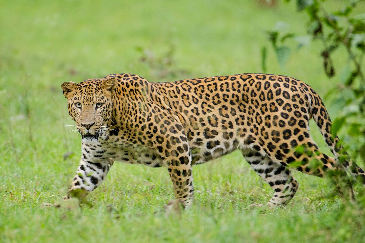Indian leopard is a leopard subspecies widely distributed on the Indian subcontinent. The…