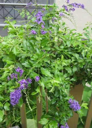"Durante Erecta or ""purple showers"" or "" Purple Rain""...Wowza!"