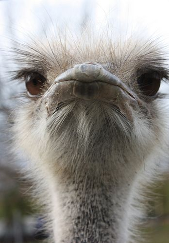 darling emu!