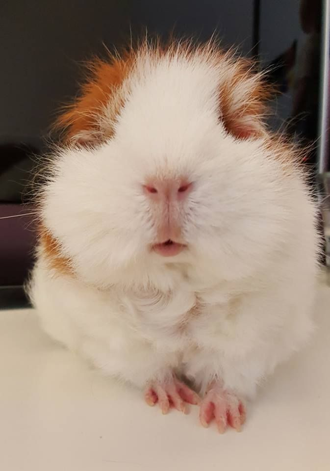 Being cute! ( ⁎˃ᴗ˂⁎ ) | Guinea pigs rock | Pinterest | Cobaya ...
