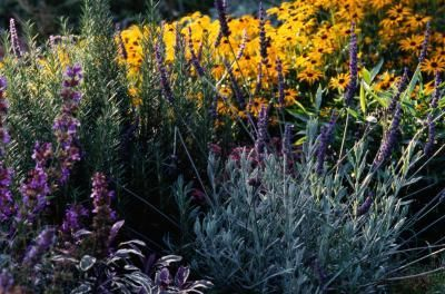 Rosemary bushes add fragrance and color to the Mediterranean native garden.