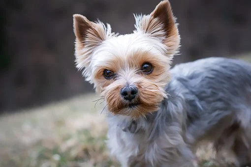 Pin By Ashlee Mh 15 On Animals In 2020 Yorkie Puppy Teacup Yorkie Puppy Yorkie Puppy For Sale