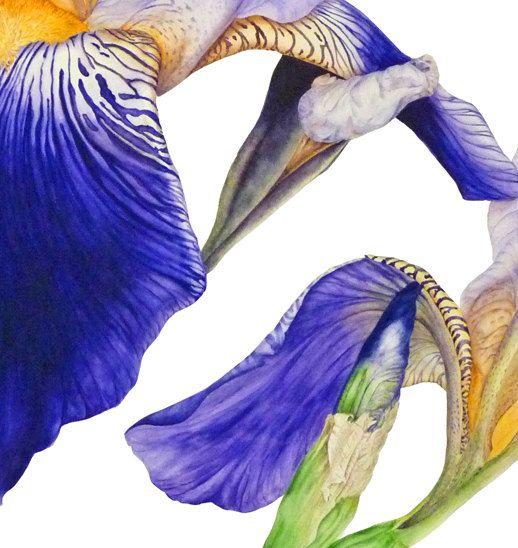 Purple Iris fine art botanical print 16 x 11 or by BlueShedStudio