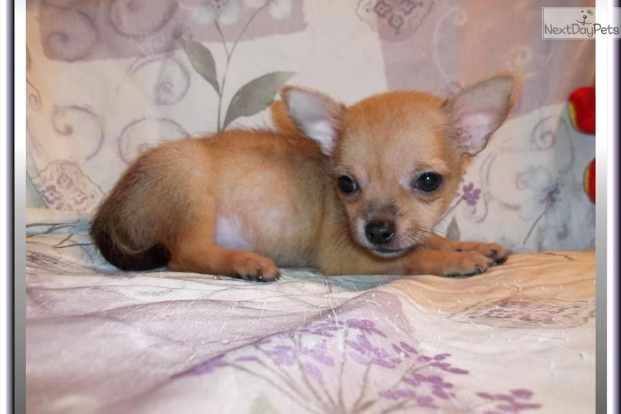 Chihuahua Newborn Puppies Little Get Notified When New Puppies
